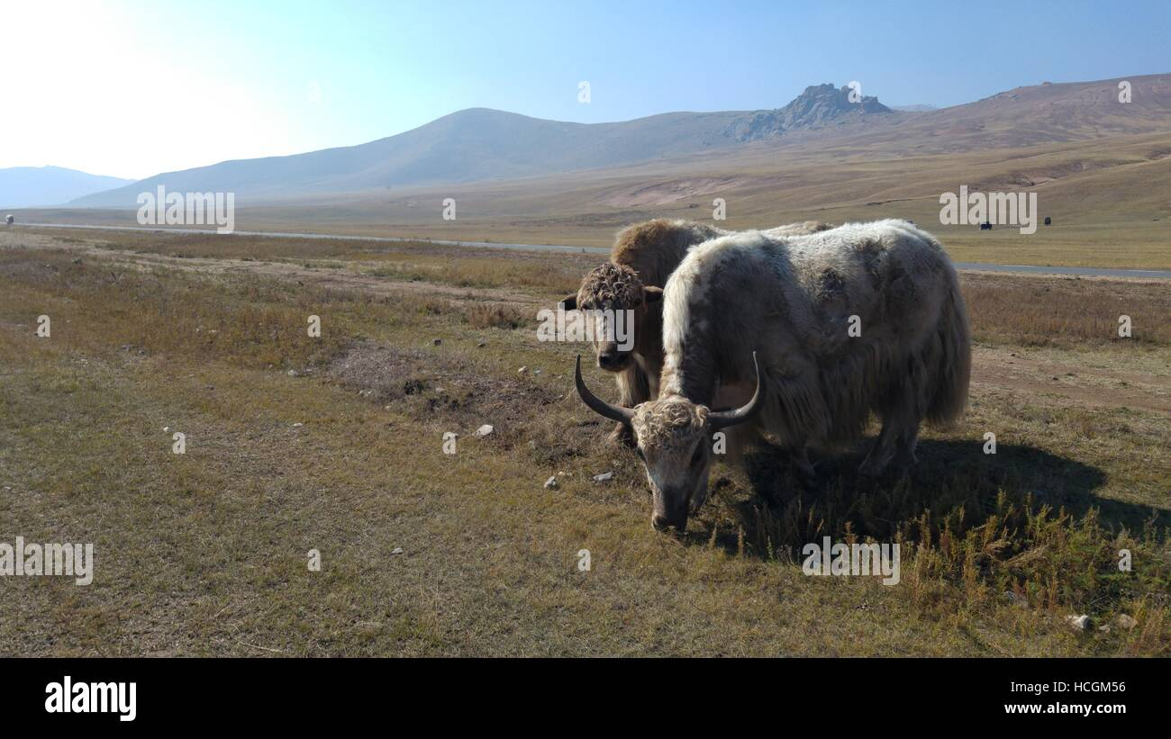 yaks grazing in mongolian plains in the wild - Stock Image