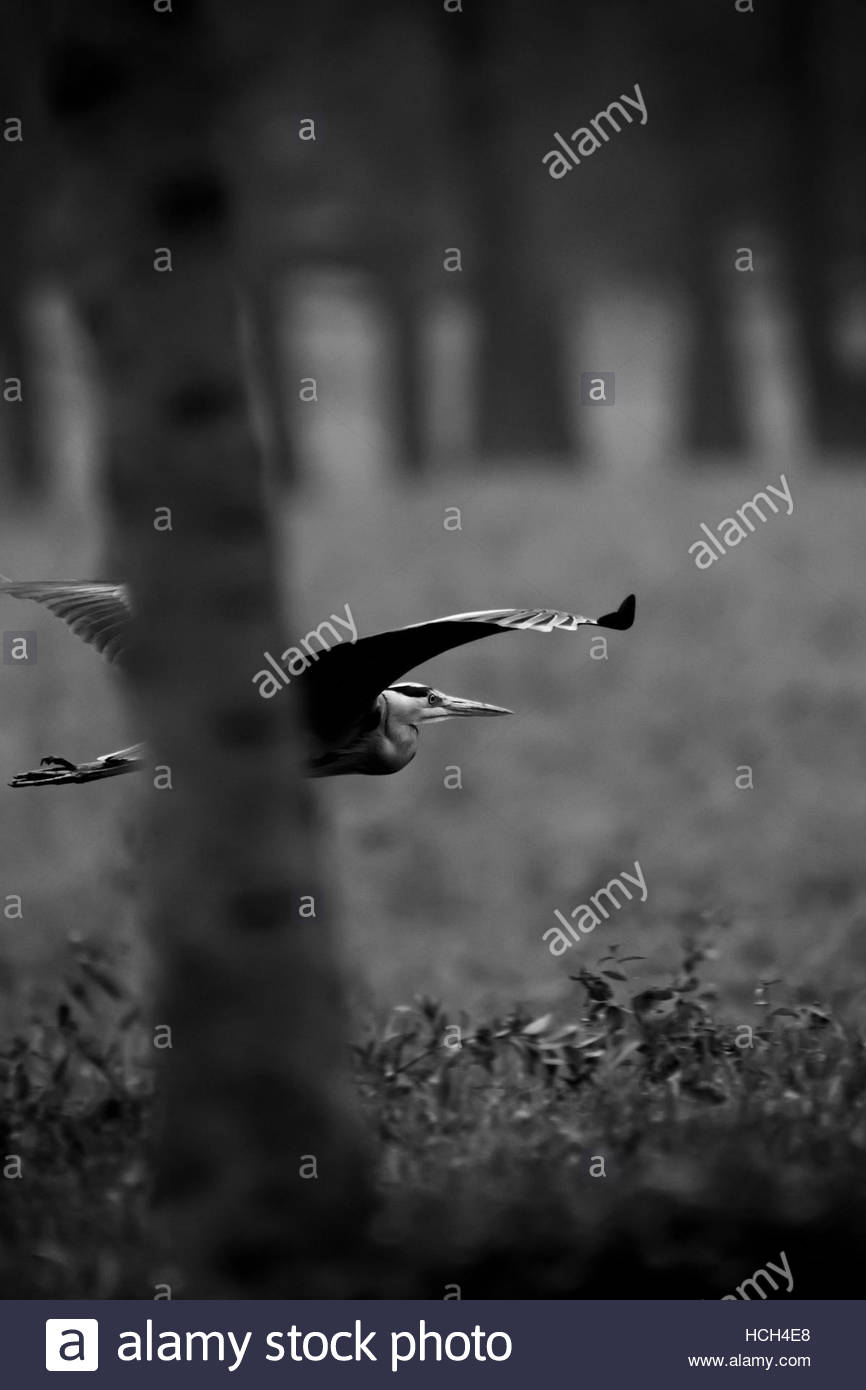 Heron flying at low altitude through the trees - Stock Image