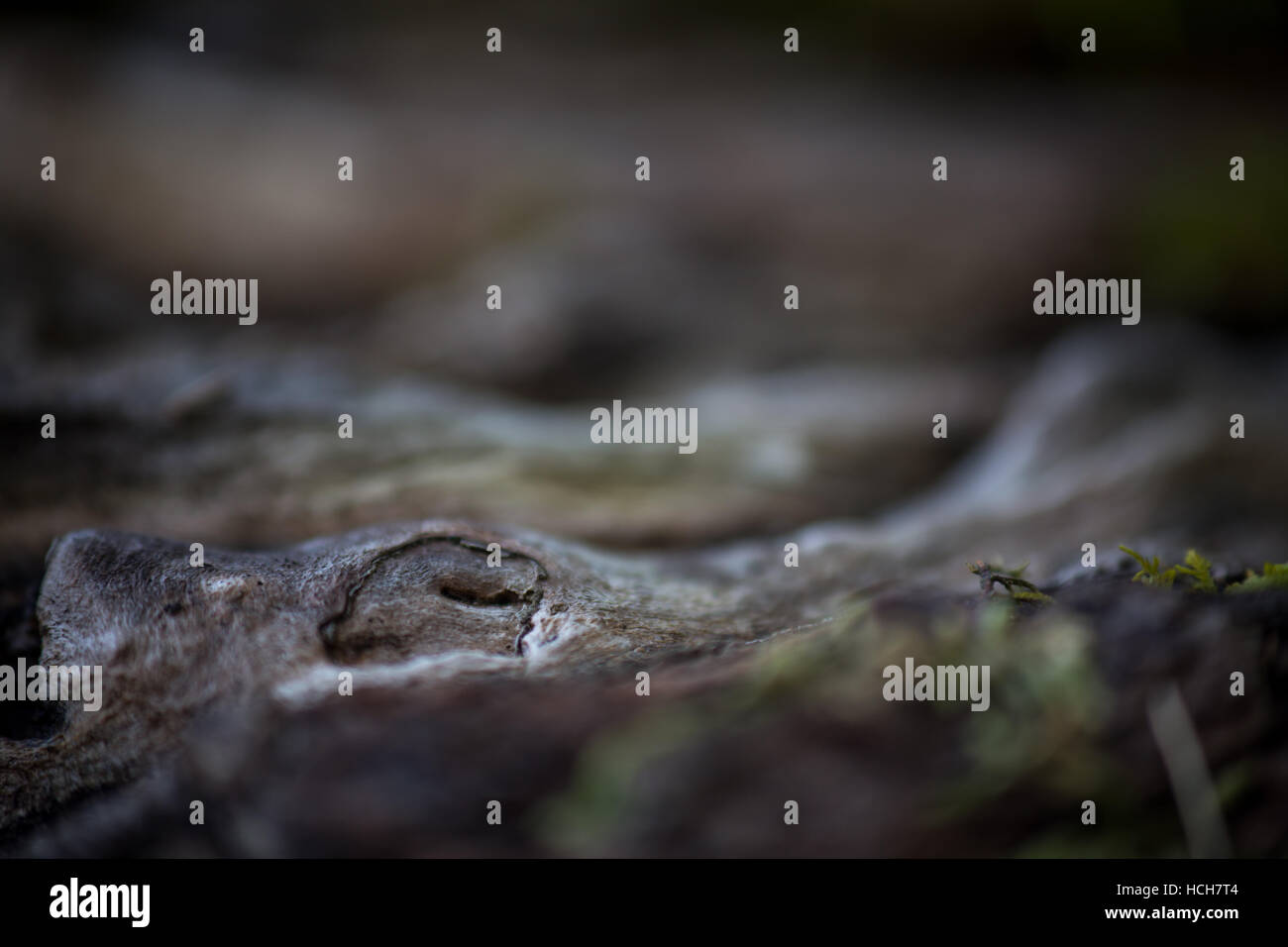 Wood knot in a root, with shalow depth of field - Stock Image