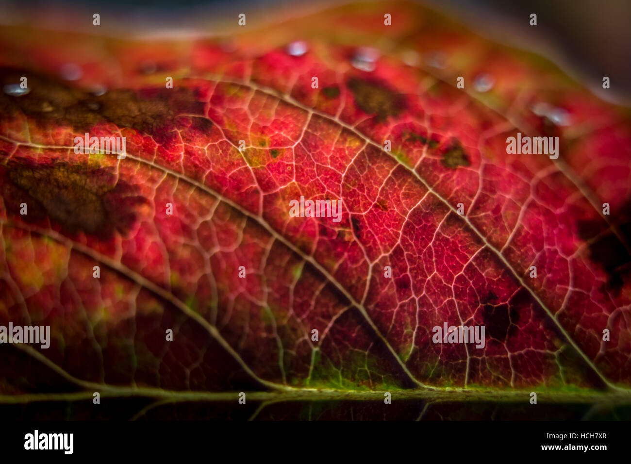 Close up of a backlit red autumn leaf showing veins - Stock Image