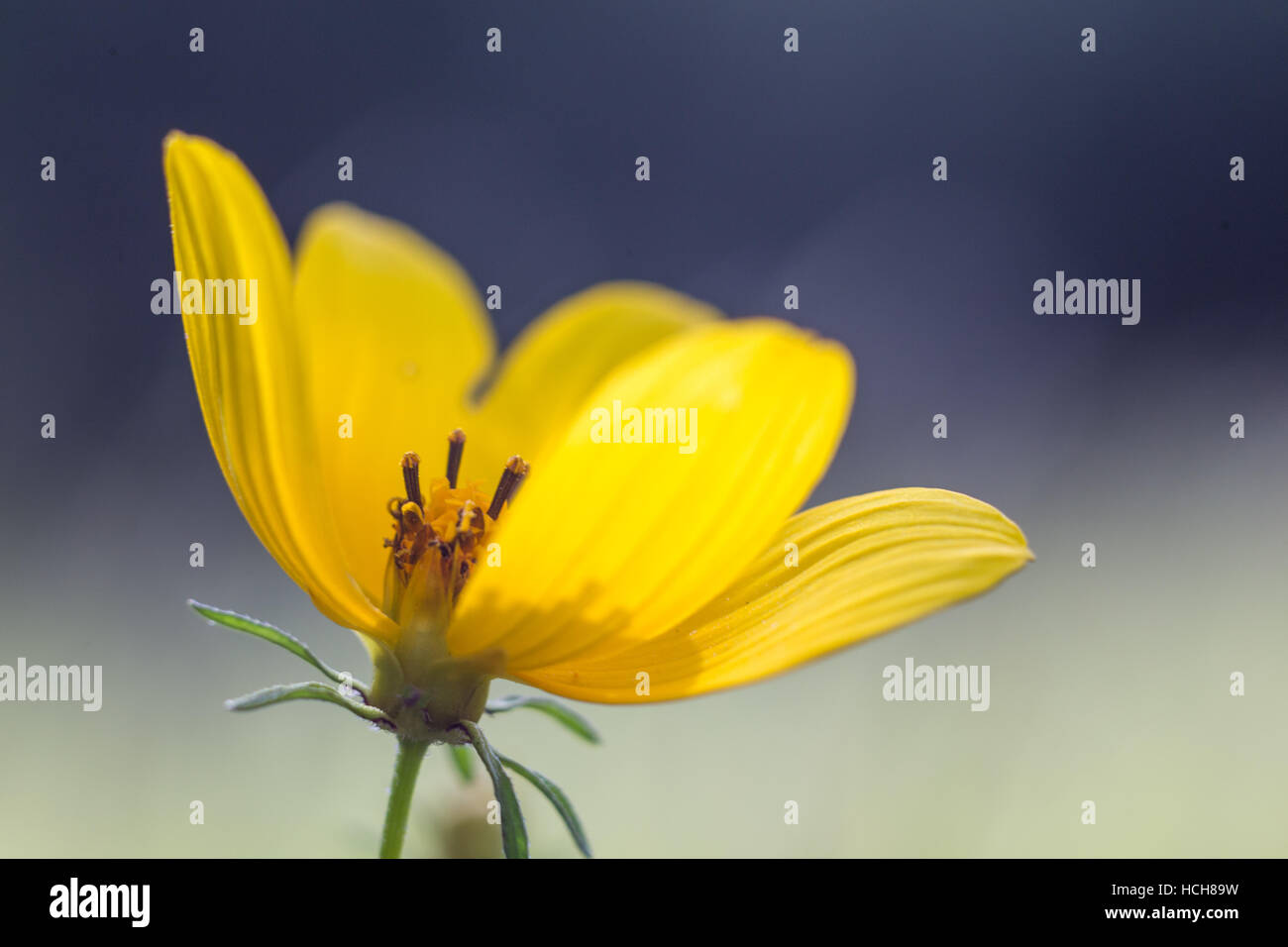 Yellow flower with brown center stock photos yellow flower with small yellow flower with textured petals with a gap showing the center of the flower with mightylinksfo