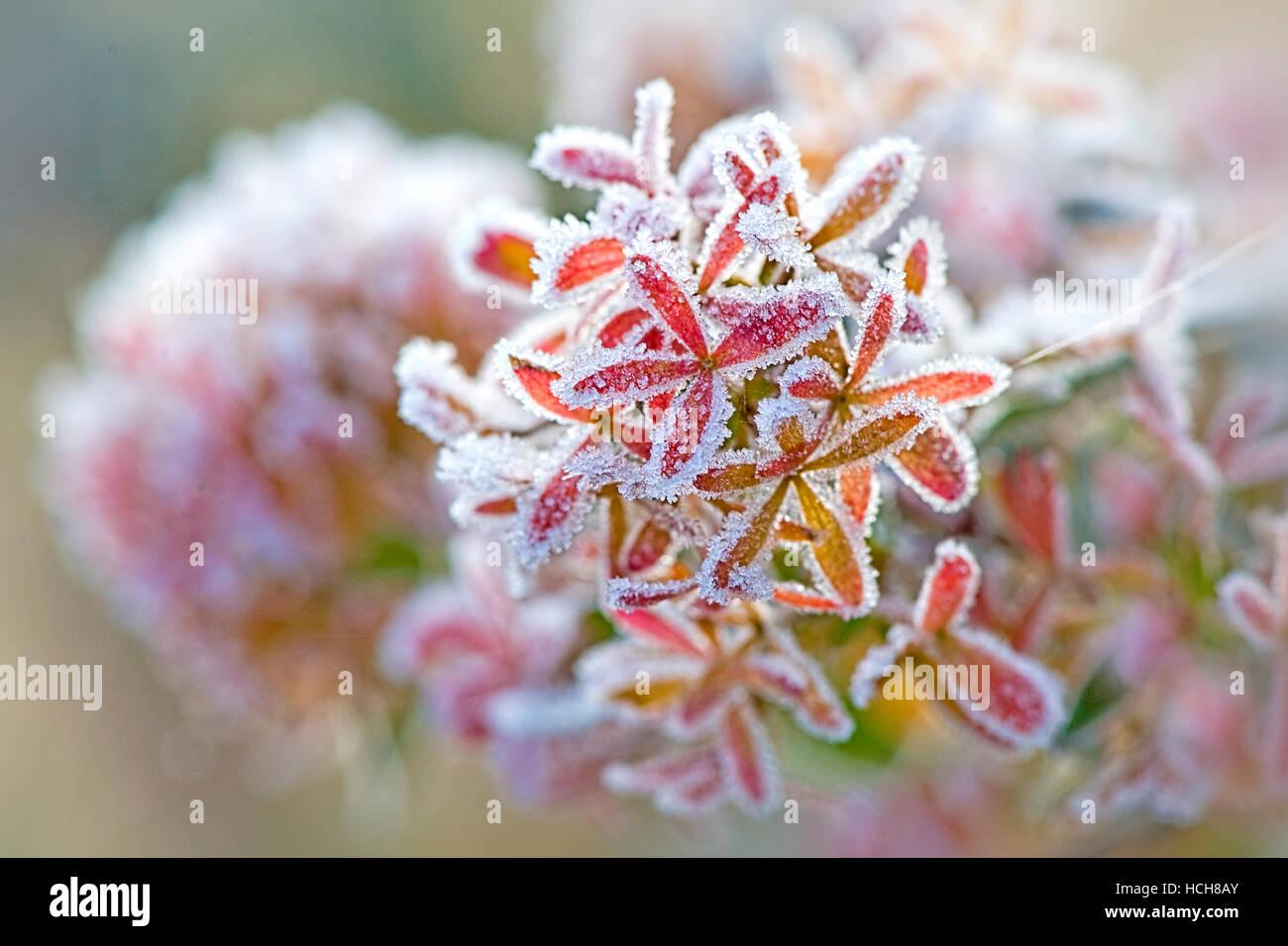 Frosted Abelia x Grandiflora flowers Stock Photo