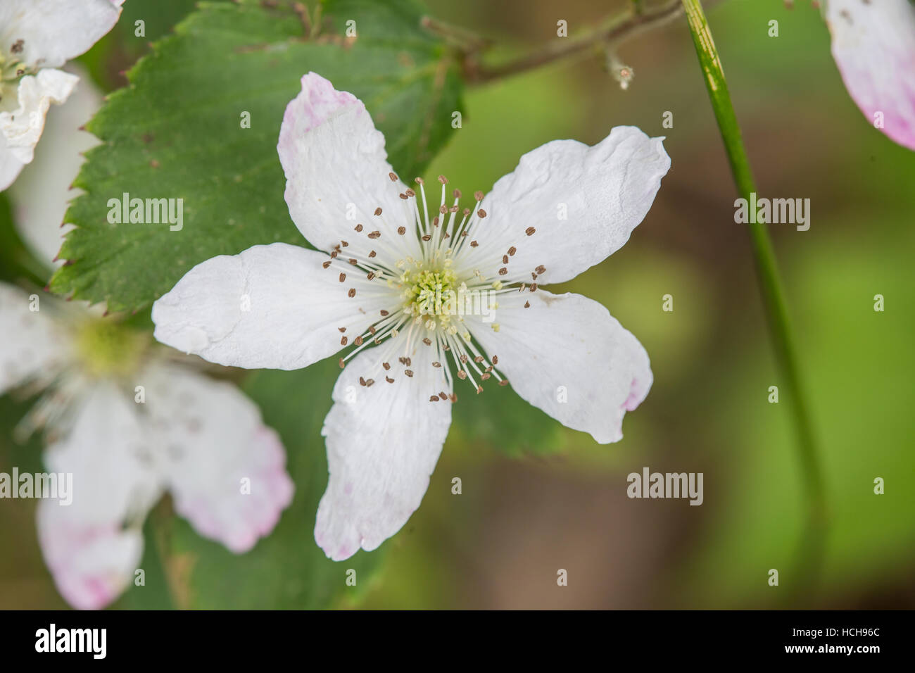 White flower five petals yellow stock photos white flower five white flower with five petals in star shape showing stamen and a green center with leaves mightylinksfo