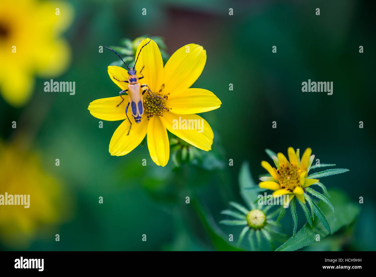 Orange and black Pennsylvania Leatherwing Beetle on the yellow petals of a Biden flower with more flowers de-focused - Stock Image