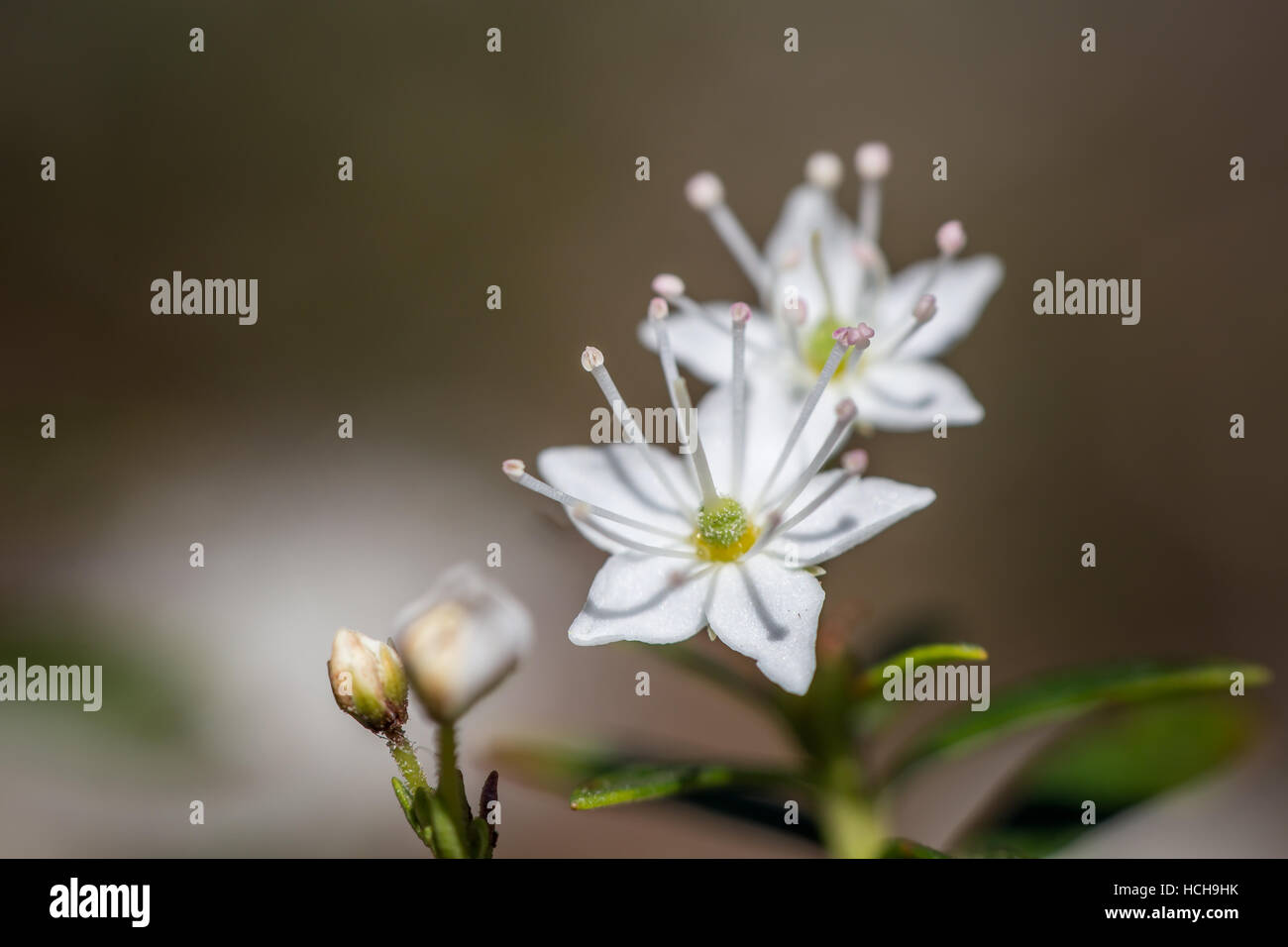 Long White Stamen Stock Photos Long White Stamen Stock Images Alamy