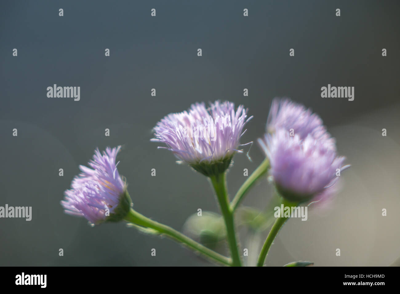 Cluster Small Purple Flowers Thin Stock Photos Cluster Small