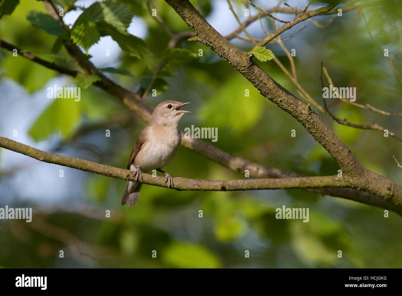 Gartengrasmücke, Garten-Grasmücke, Grasmücke, Sylvia borin, garden warbler - Stock Image