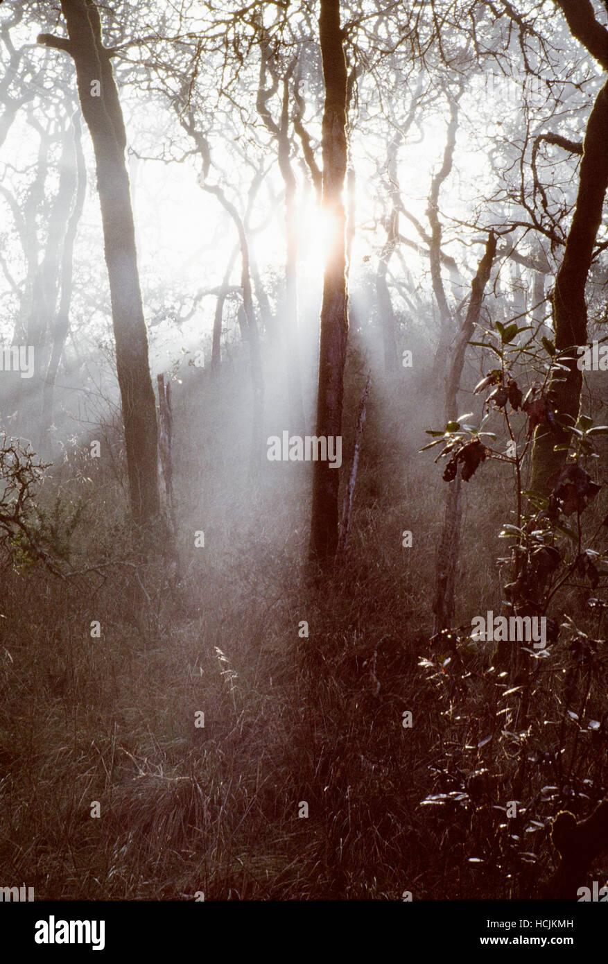 Beams of morning light through trees in Shiloh Regional Park, Sonoma County, Windsor, California. - Stock Image