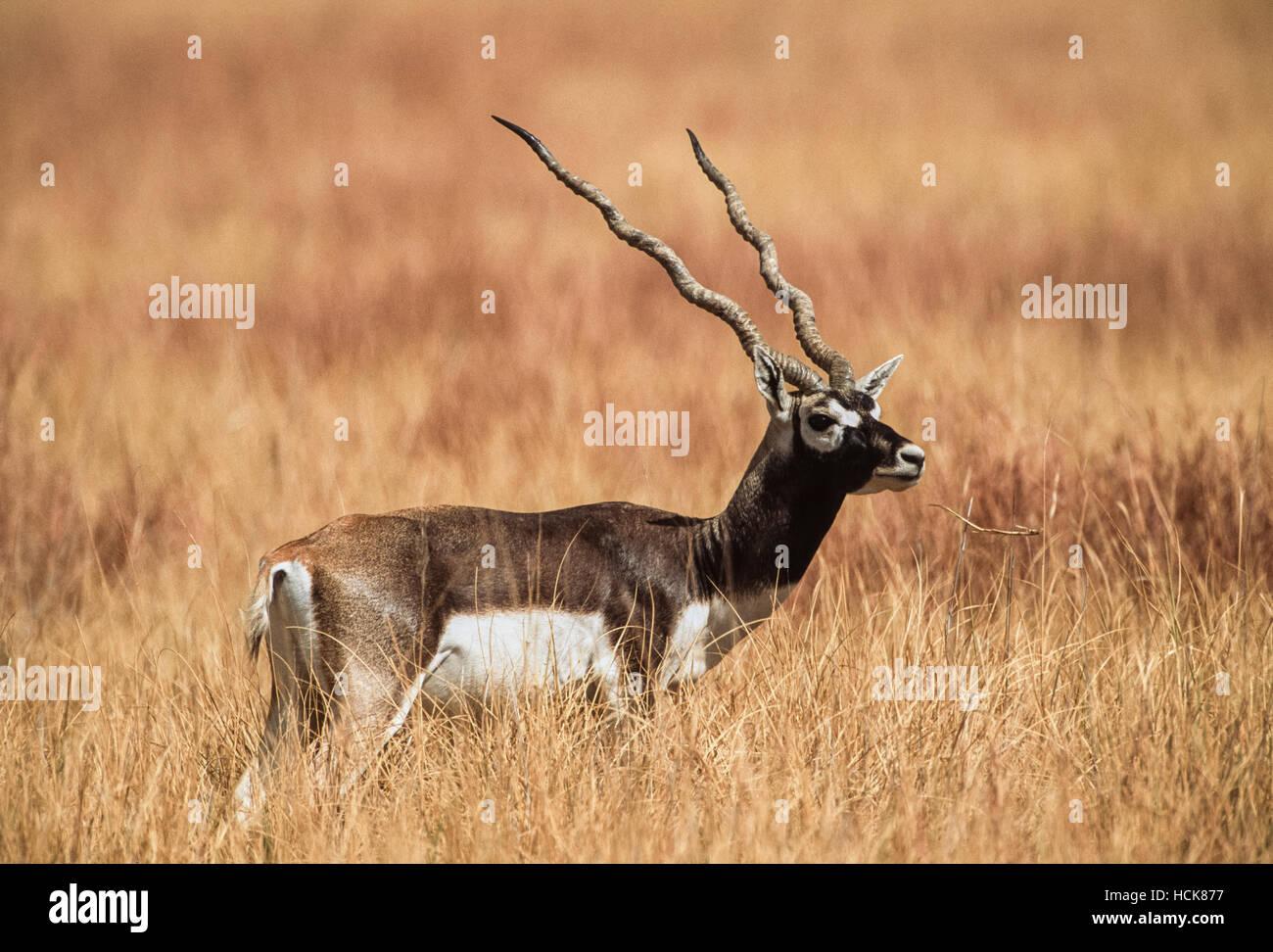 Indian Blackbuck, (Antilope cervicapra), adult male on grassland plains, Blackbuck National Park,Velavadar,Gujarat,India Stock Photo