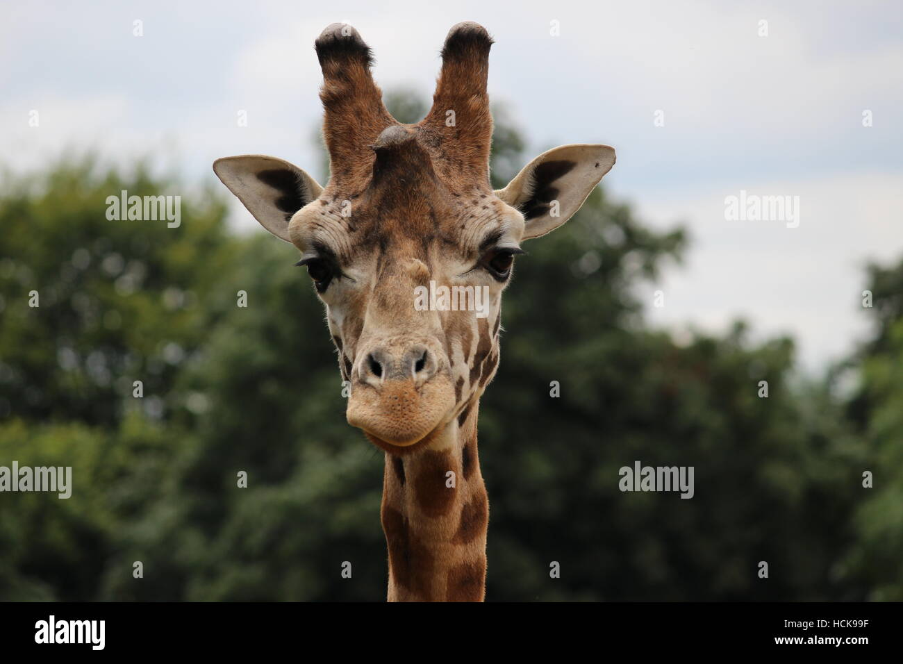 Giraffe portrait young adolescent proud headshot head smile smiling Cotswold Wildlife Park - Stock Image