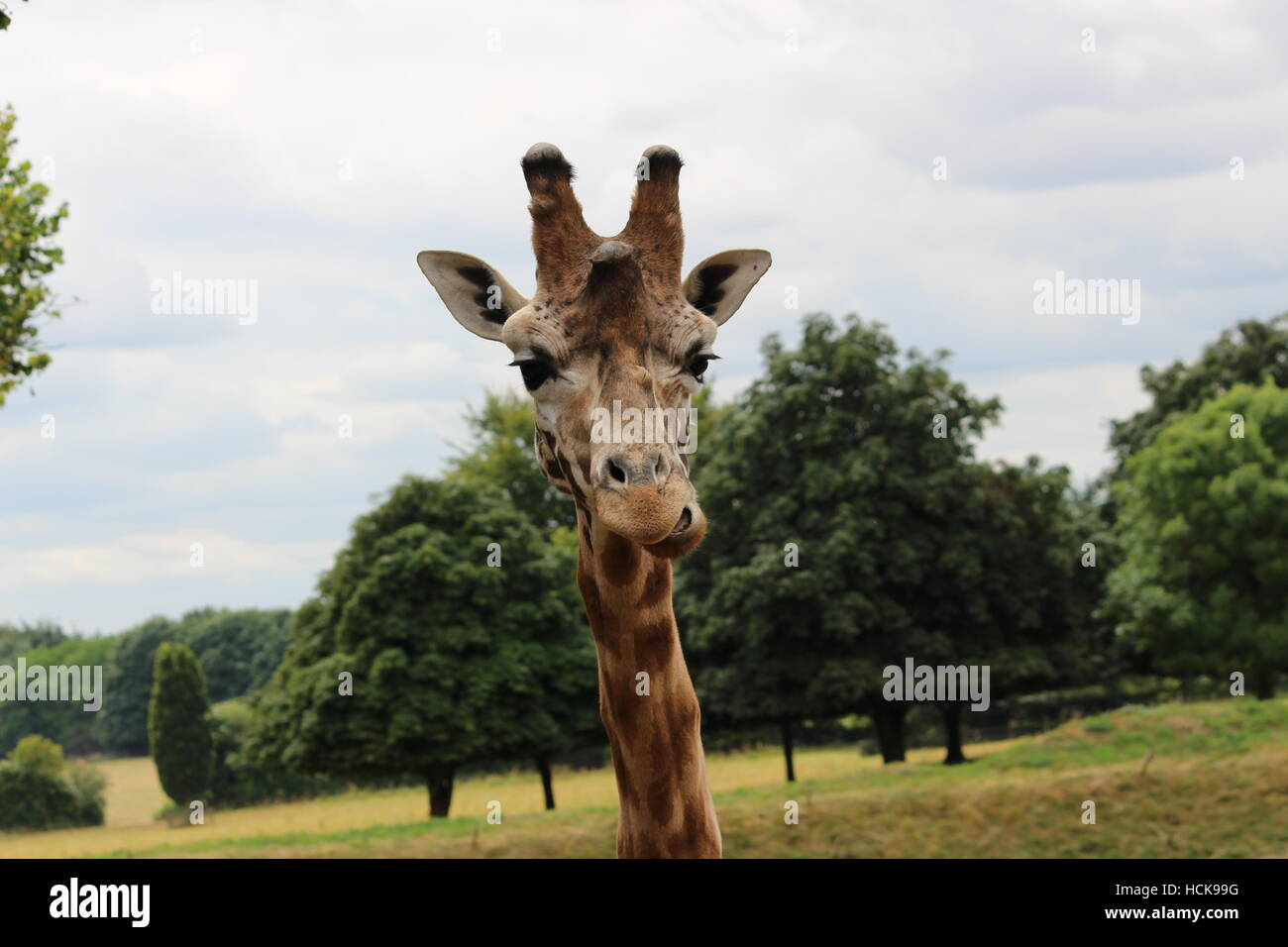 Giraffe portrait Cotswold Wildlife Park young adolescent proud headshot head talking - Stock Image
