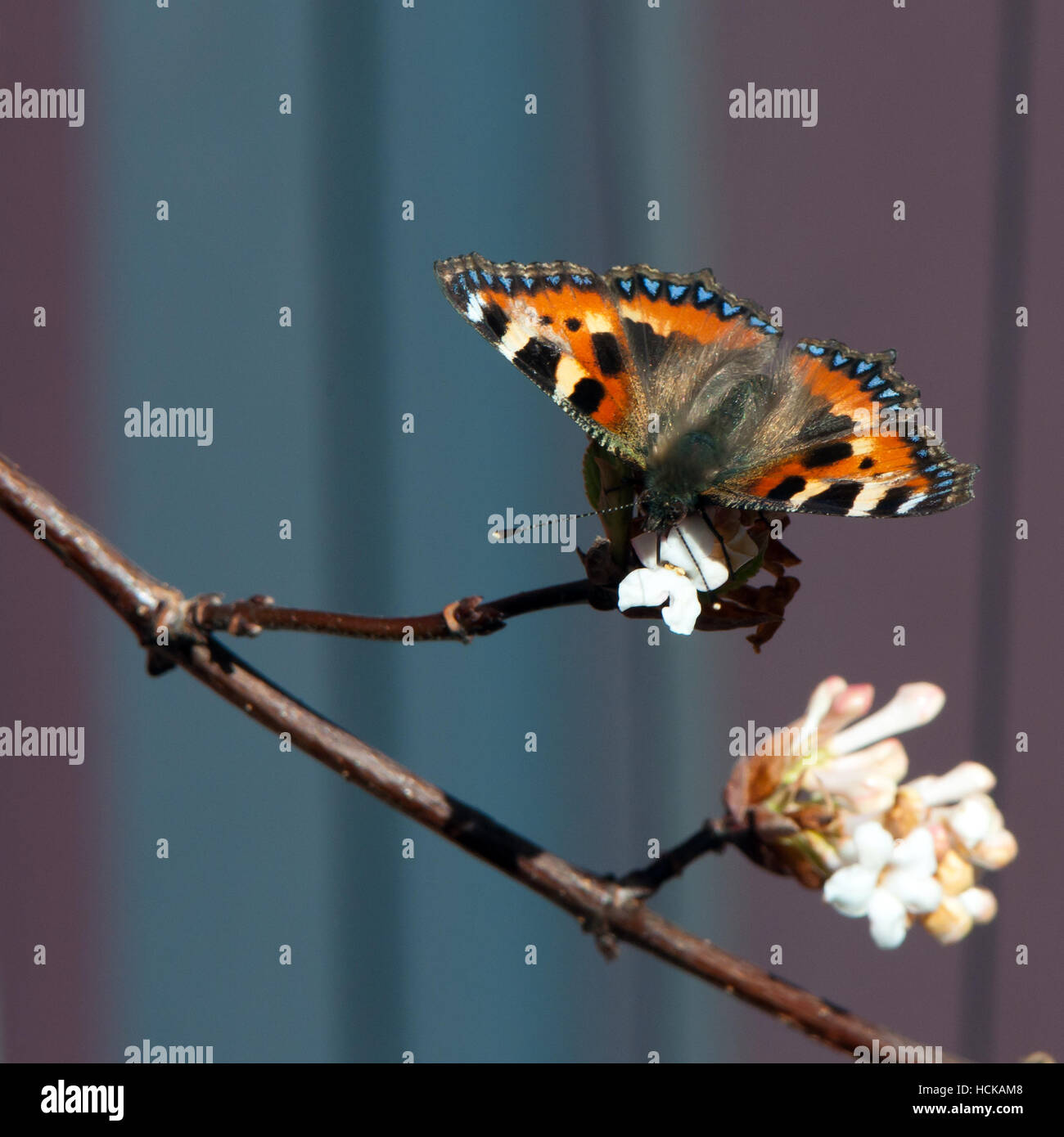A wonderful colored small tortoiseshell butterfly sucking nectar from the snowball tree with a nice bokeh - Stock Image
