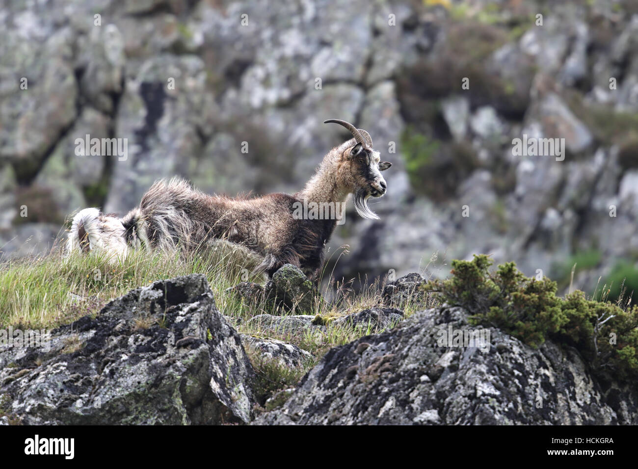 Wild British Primitive Goats also know as Wild Feral Goats. Taken in Findhorn Valley,  Scotland. - Stock Image