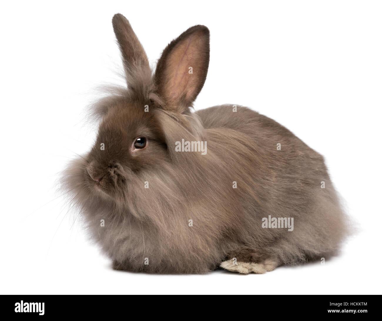 Cute lying chocolate colored mini lionhead bunny rabbit - Stock Image