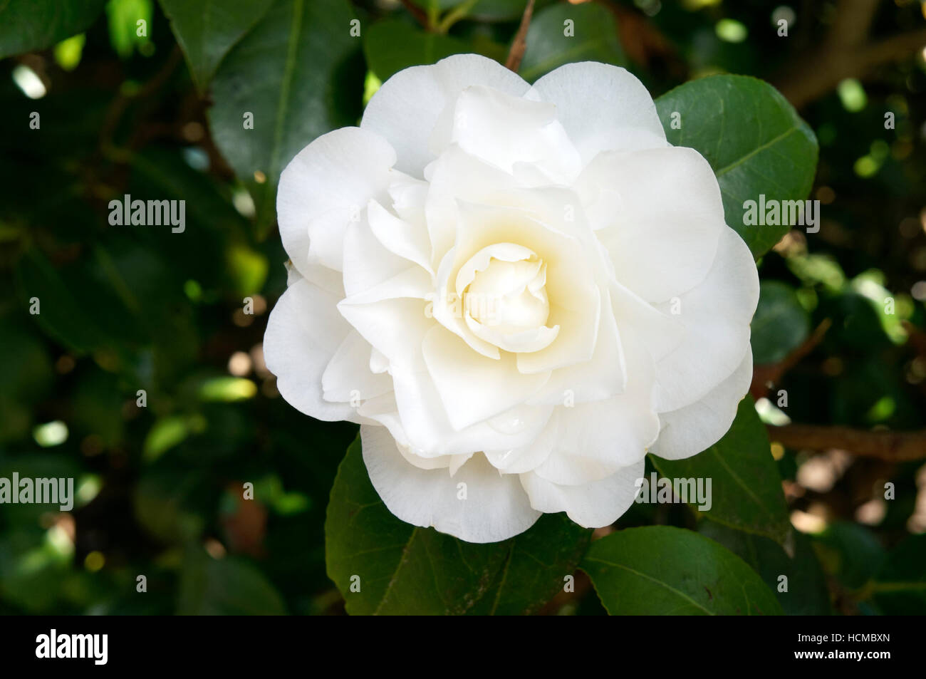 Closeup of a white camellia flower in spring stock photo 128296861 closeup of a white camellia flower in spring mightylinksfo