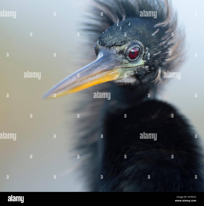 Portrait of Windblown Anhinga (Anhinga anhinga) - Stock Image