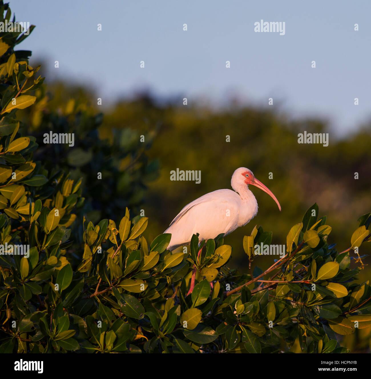 White Ibis (Eudocimus albus) in Mangrove - Stock Image