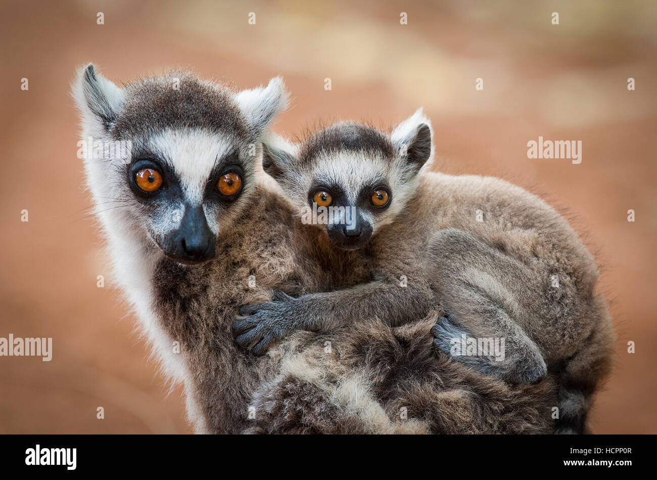 Ring-tailed lemur mother with infant on her back - Stock Image