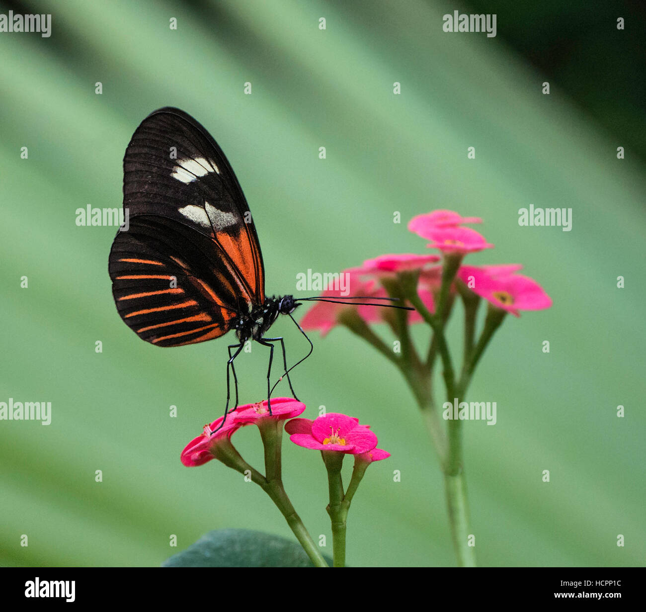 Red Postman Mimic (Heliconius melpomene aglaope) feeding on pink flower - Stock Image