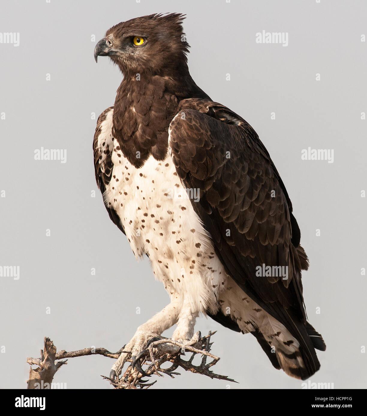 Martial's Eagle (Polemaetus bellicosus) perched   Nikon D300, Nikon 300 2.8 lens with 1.4 teleconverter, 1/1250, - Stock Image
