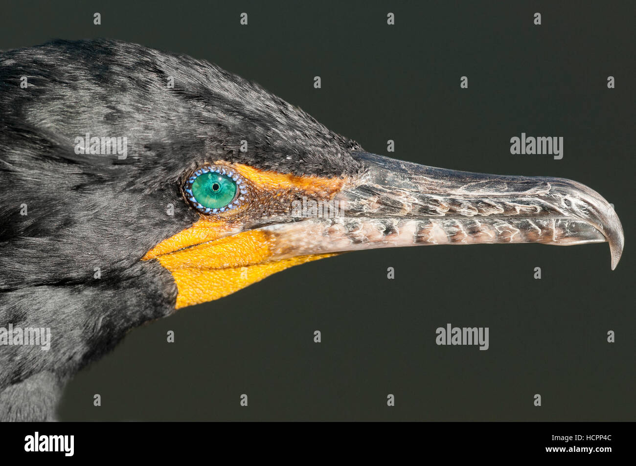 Double-crested Cormorant (Phalacrocorax auritus) close up beak and eye - Stock Image