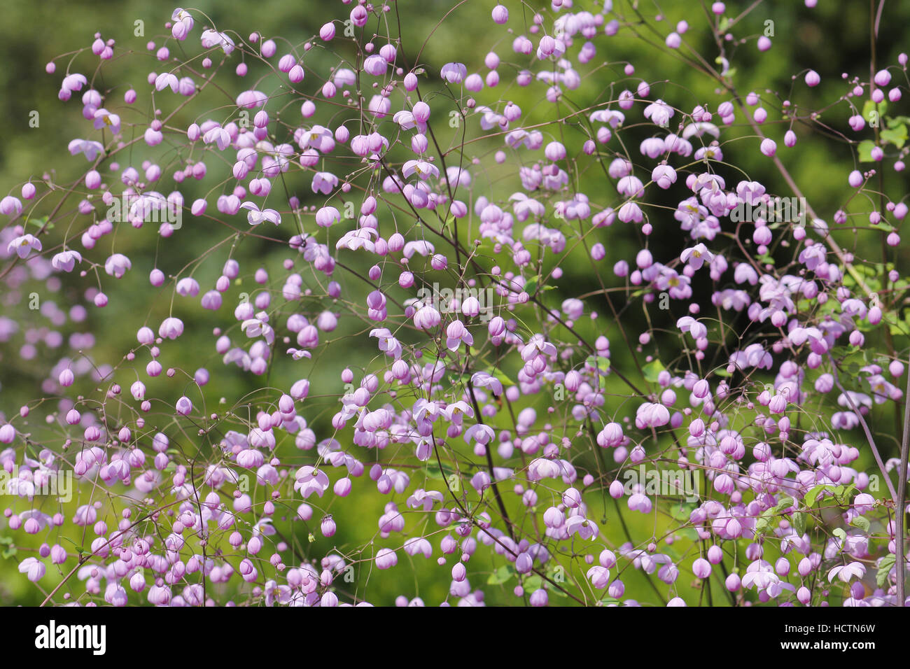shrub with small blossoms - Stock Image