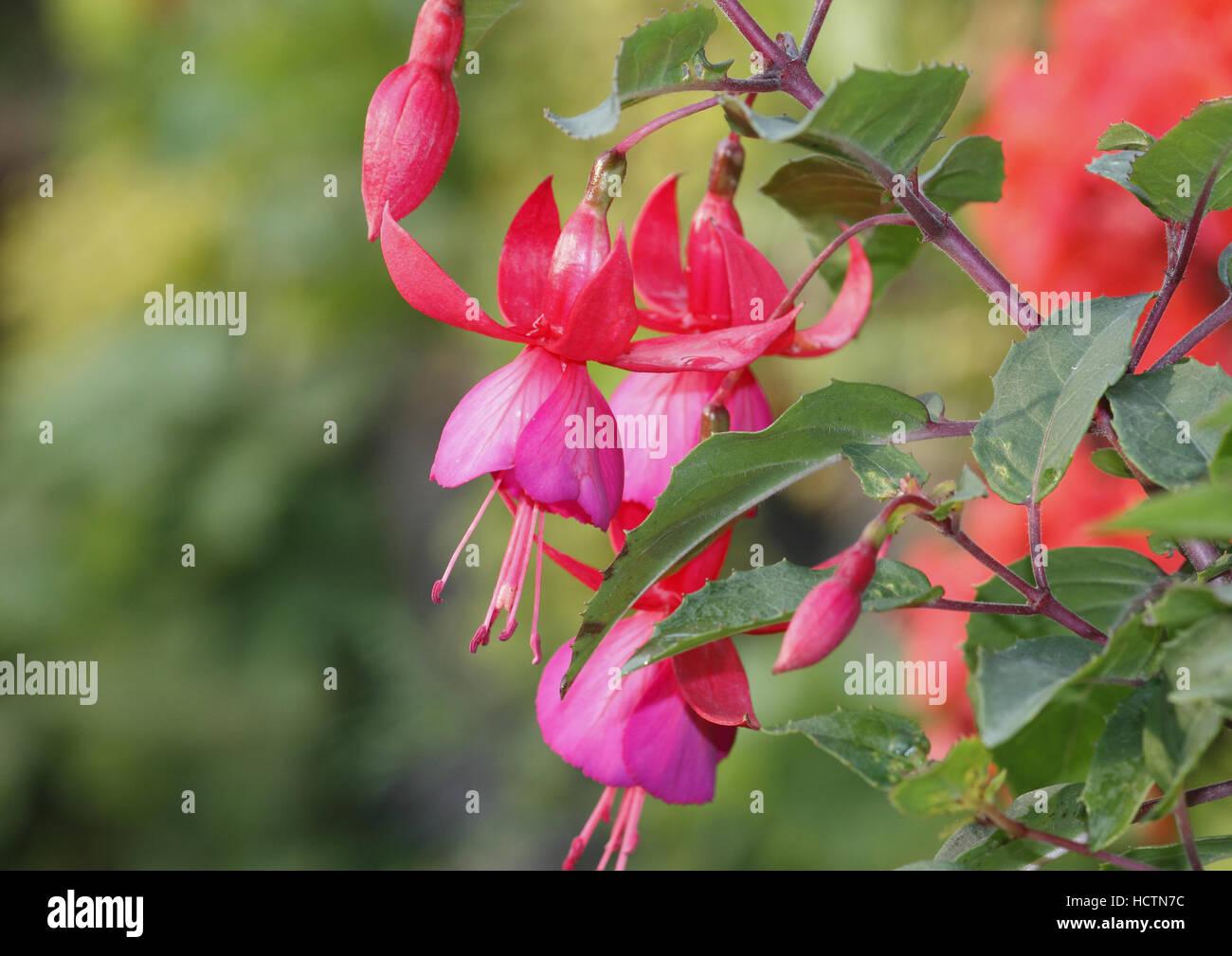 fuchsia - Stock Image