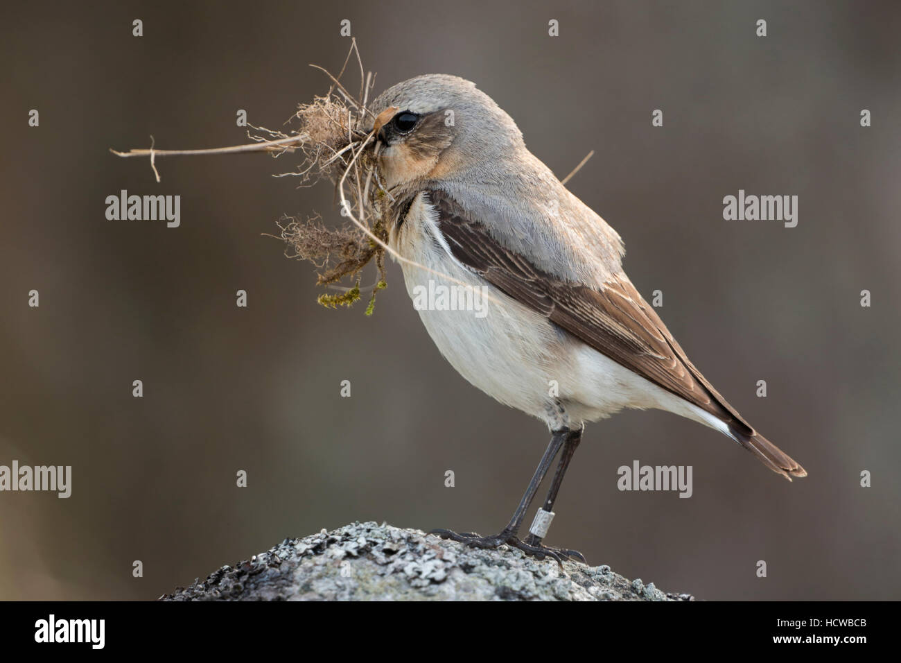 Northern Wheatear / Steinschmaetzer ( Oenanthe oenanthe ) carrying nesting material in its beak, perched on a rock. Stock Photo