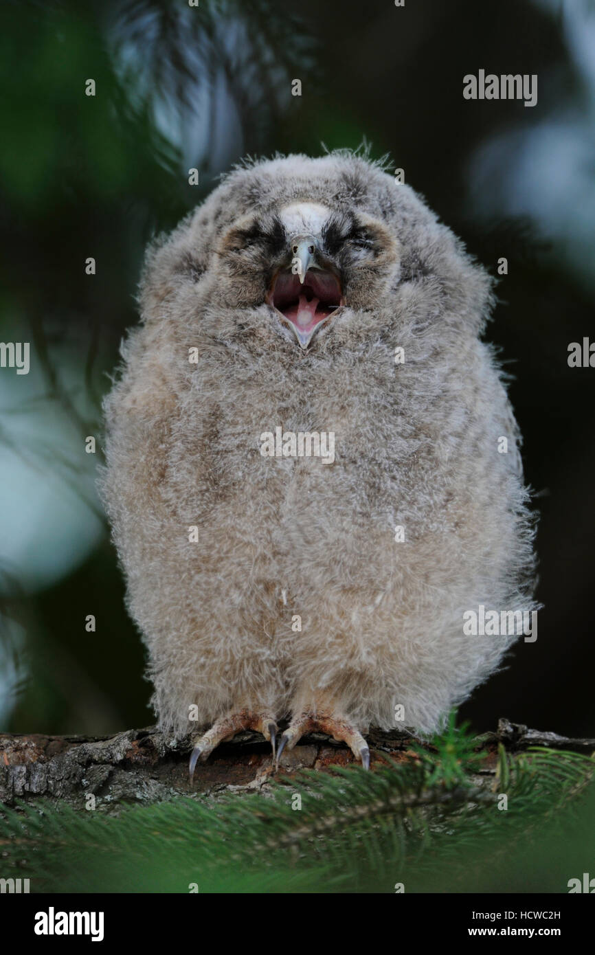 Long-eared Owl ( Asio otus ), chick perched in a conifer, regurgitating food residues, looks funny, seems like its - Stock Image