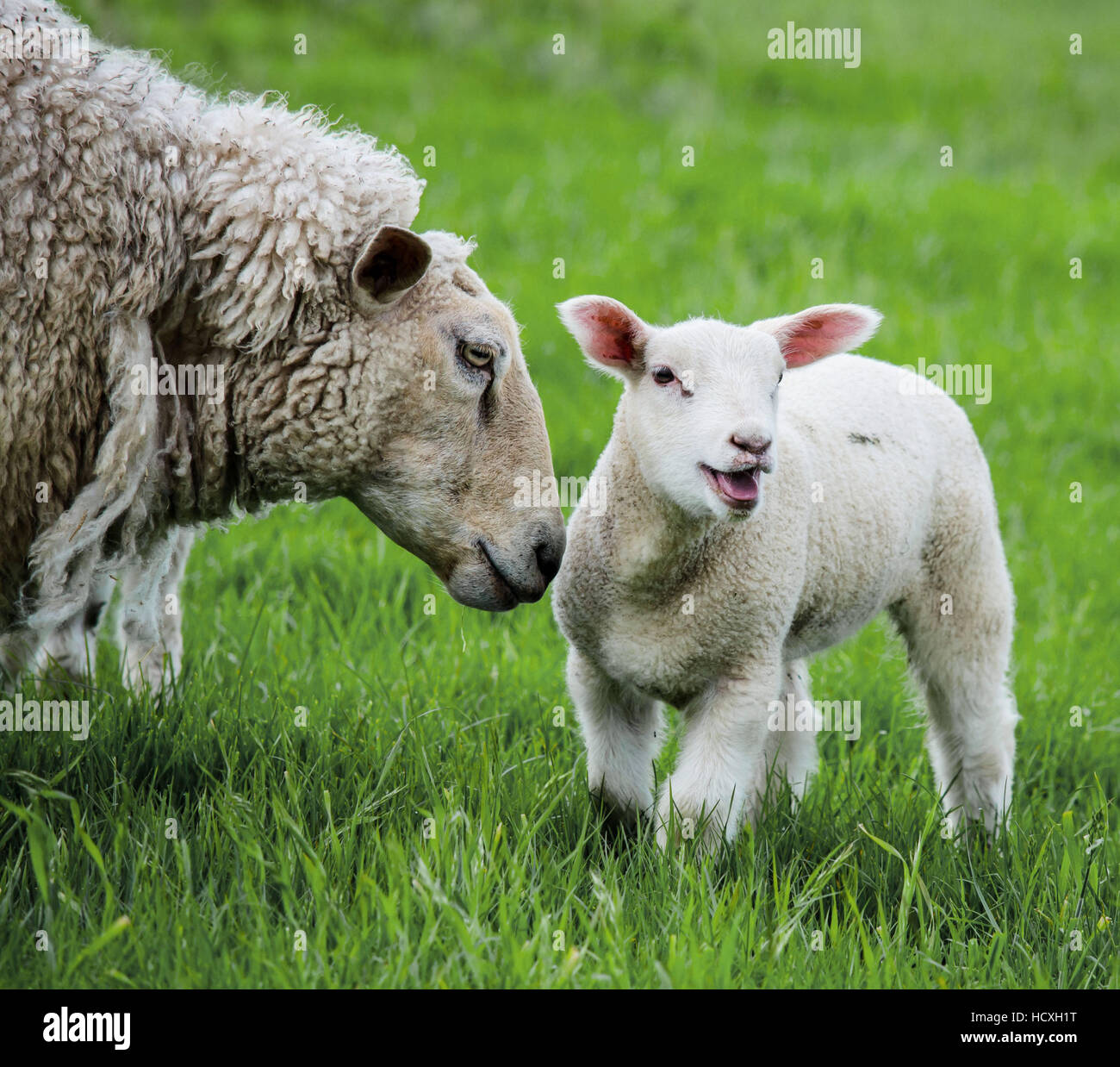 Mother's Pride - Stock Image