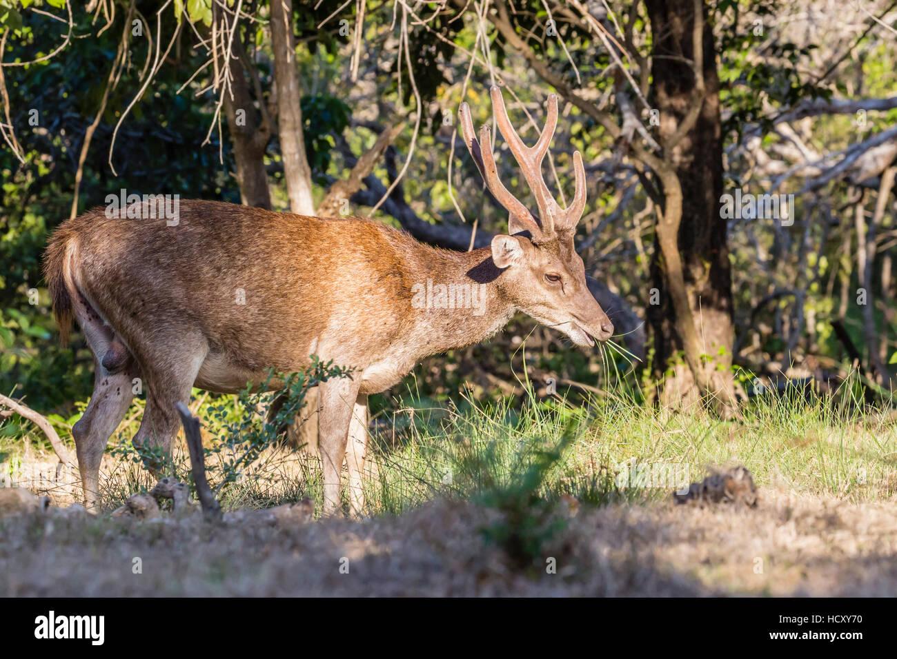 Adult buck Timor rusa deer (Cervus timorensis) in velvet on Rinca Island, Indonesia - Stock Image