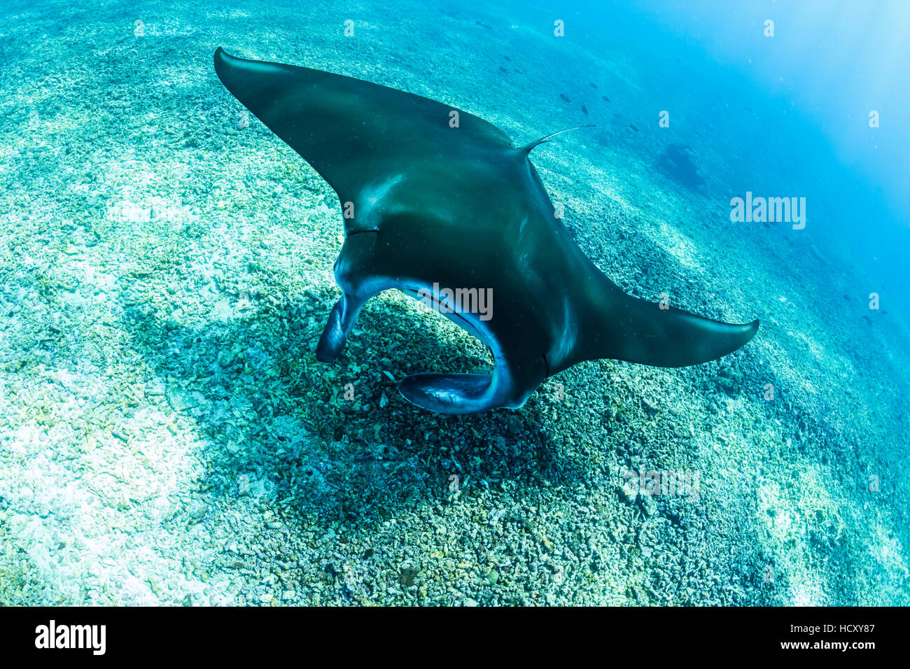 An adult manta ray (Manta birostris) at Makaser, Komodo National Park, Flores Sea, Indonesia Stock Photo