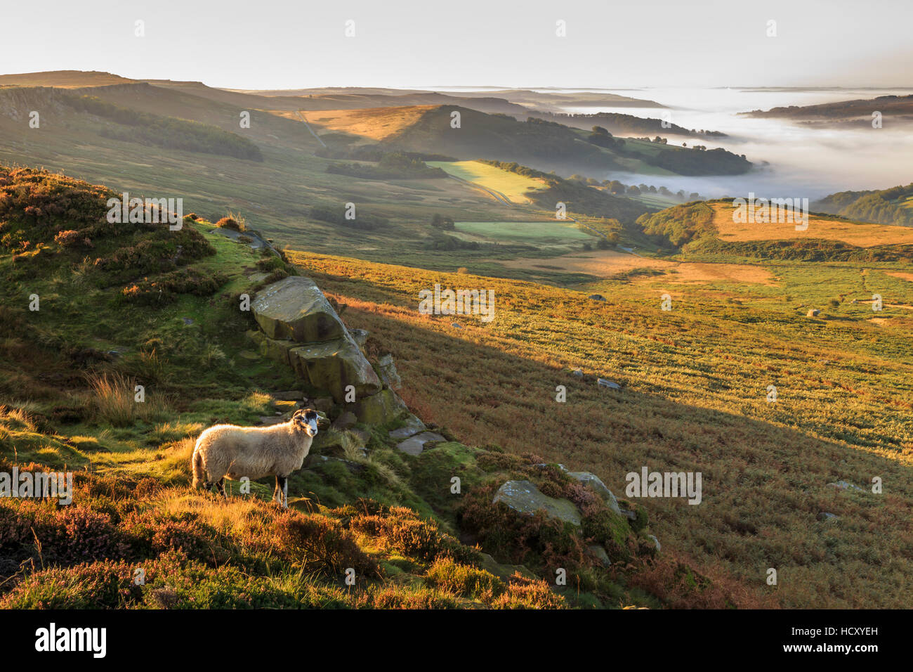 Sheep, valley with temperature inversion fog, Stanage Edge, Peak District National Park, autumn heather, Derbyshire, - Stock Image