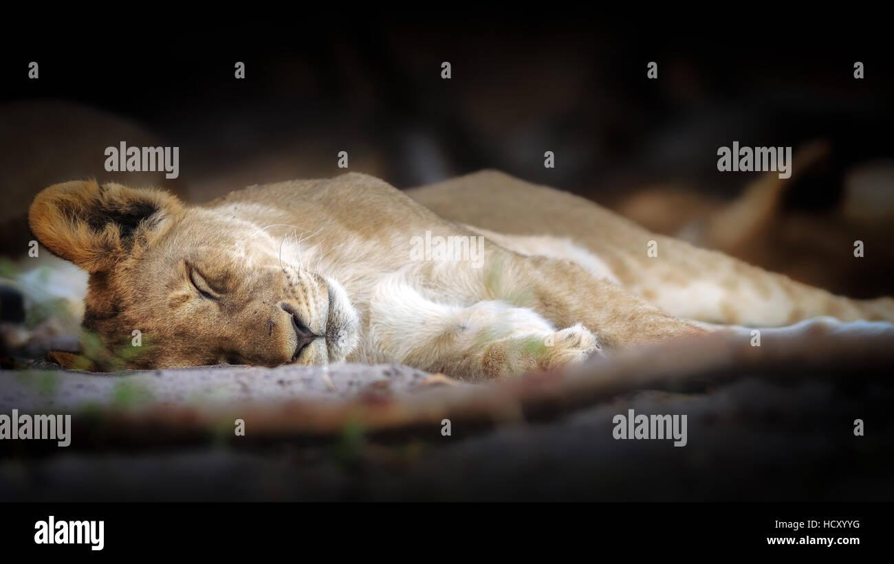 Sleeping lion cub, Chobe National Park, Botswana, Africa - Stock Image