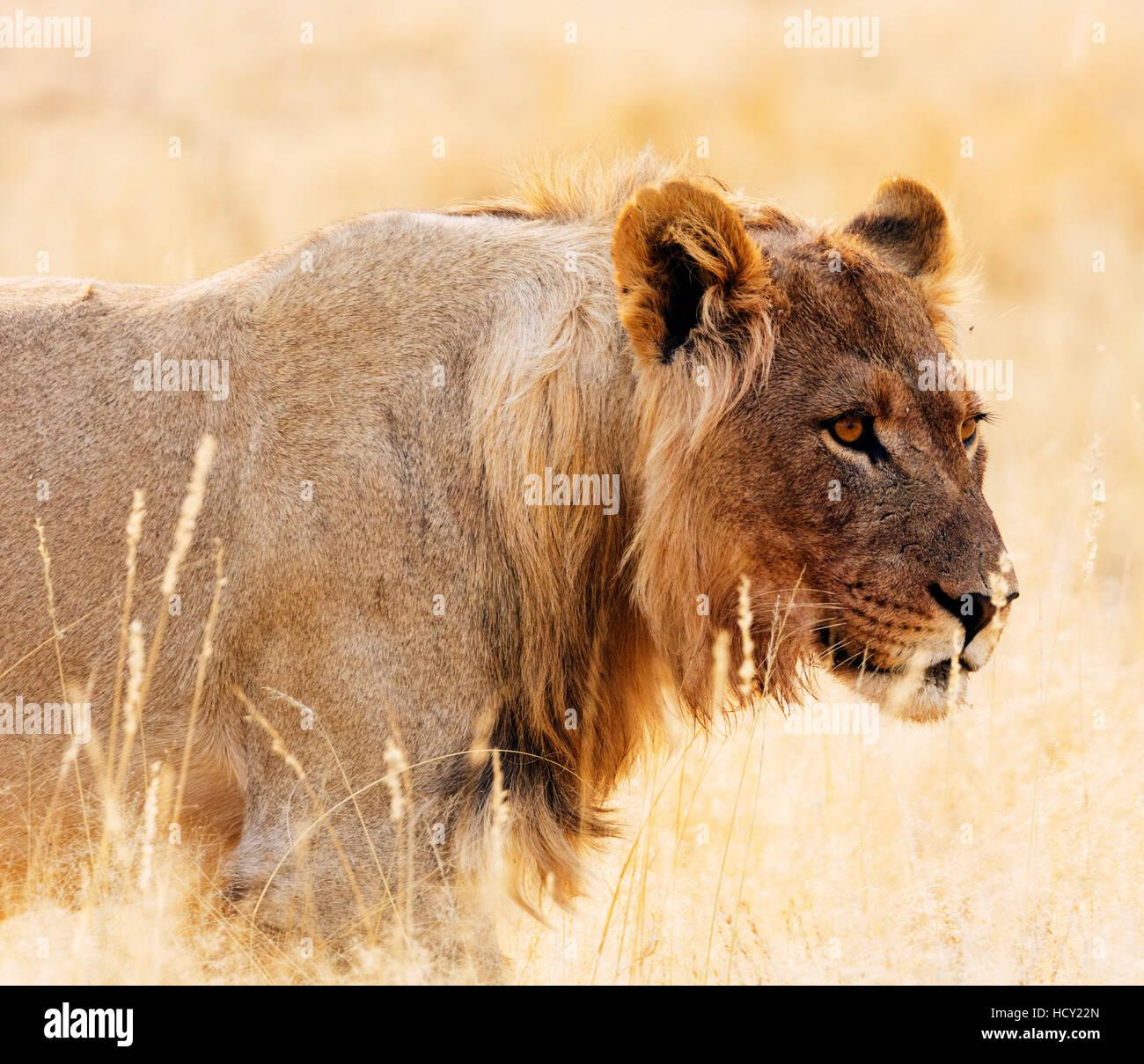 Young lion (Panthera leo), Kgalagadi Transfrontier Park, Kalahari, Northern Cape, South Africa, Africa - Stock Image