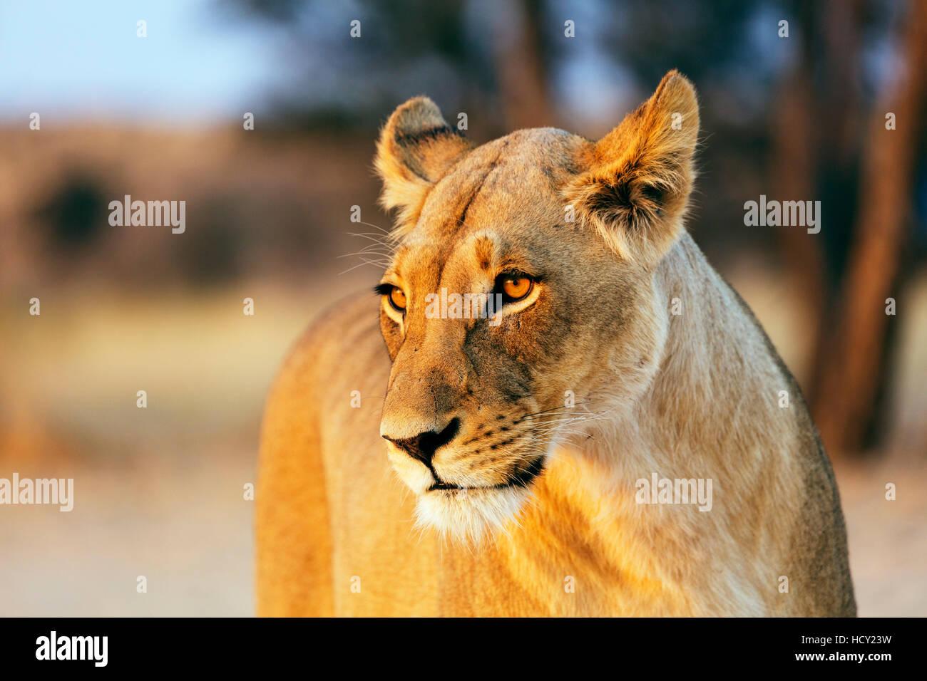 Lioness (Panthera leo), Kgalagadi Transfrontier Park, Kalahari, Northern Cape, South Africa, Africa - Stock Image