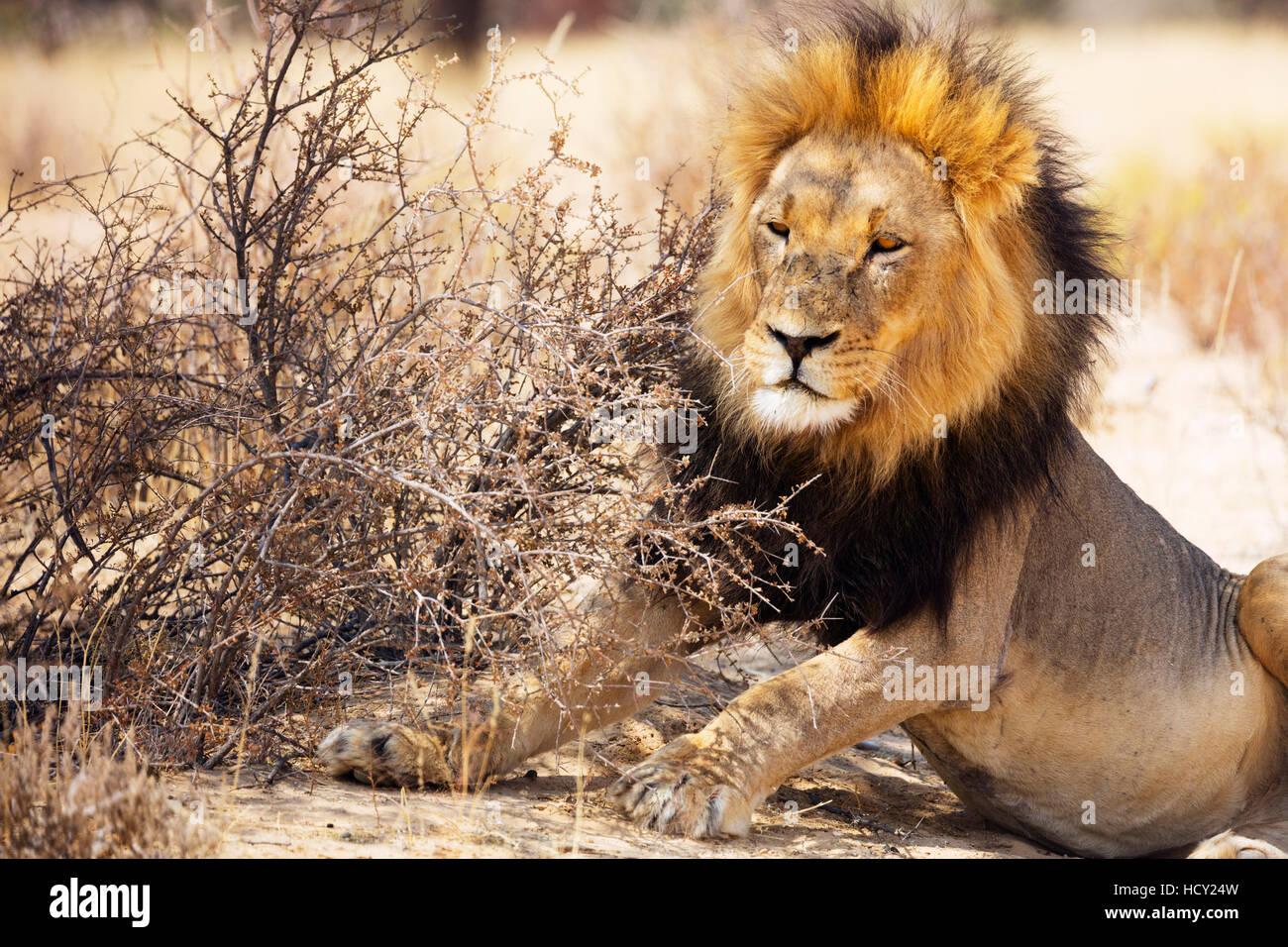 Resting lion (Panthera leo), Kgalagadi Transfrontier Park, Kalahari, Northern Cape, South Africa, Africa - Stock Image