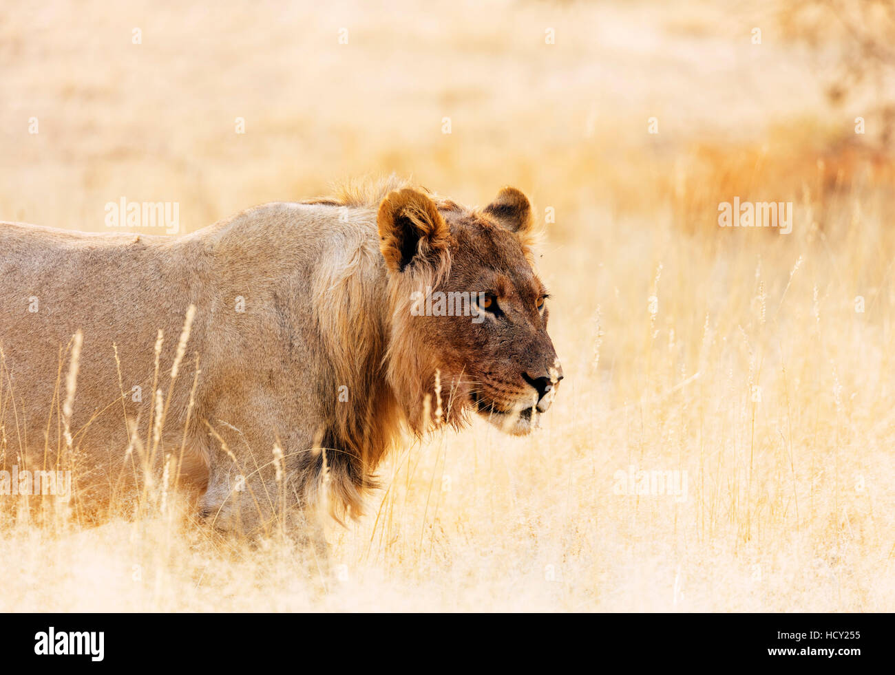 Young lion (Panthera leo), Kgalagadi Transfrontier Park, Kalahari, Northern Cape, South Africa, Africa Stock Photo