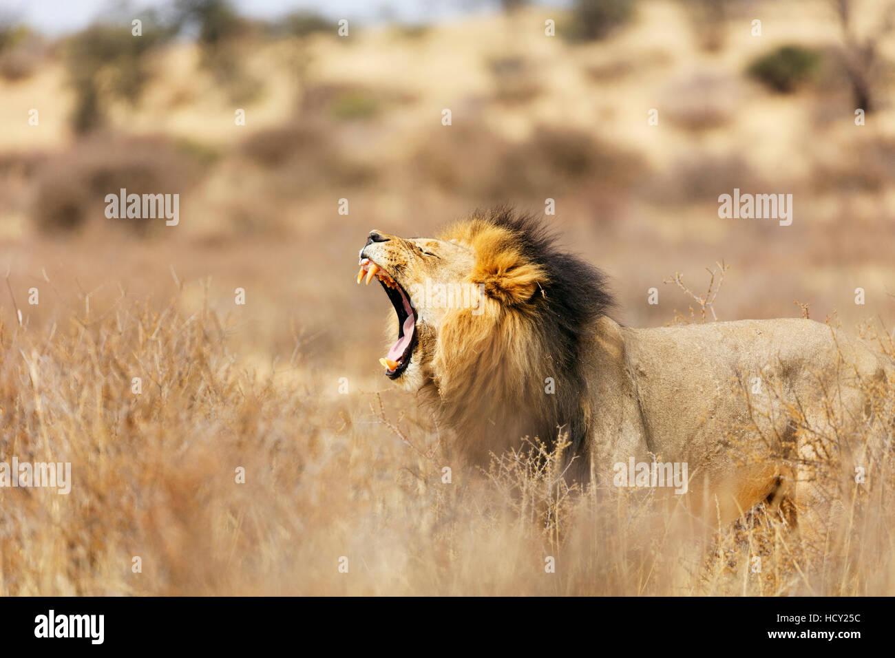 Roaring lion (Panthera leo), Kgalagadi Transfrontier Park, Kalahari, Northern Cape, South Africa, Africa - Stock Image