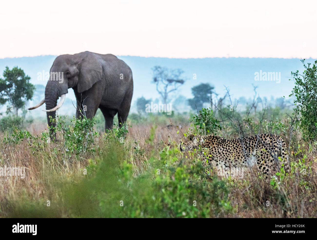 Cheetah (Acinonyx jubatus) and African elephant (Loxodonta Africana), Kruger National Park, South Africa, Africa - Stock Image