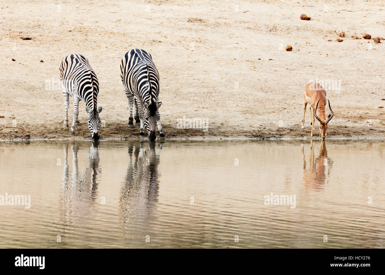 Burchell's Plains zebra (Equus quagga) drinking, Kruger National Park, South Africa, Africa - Stock Image