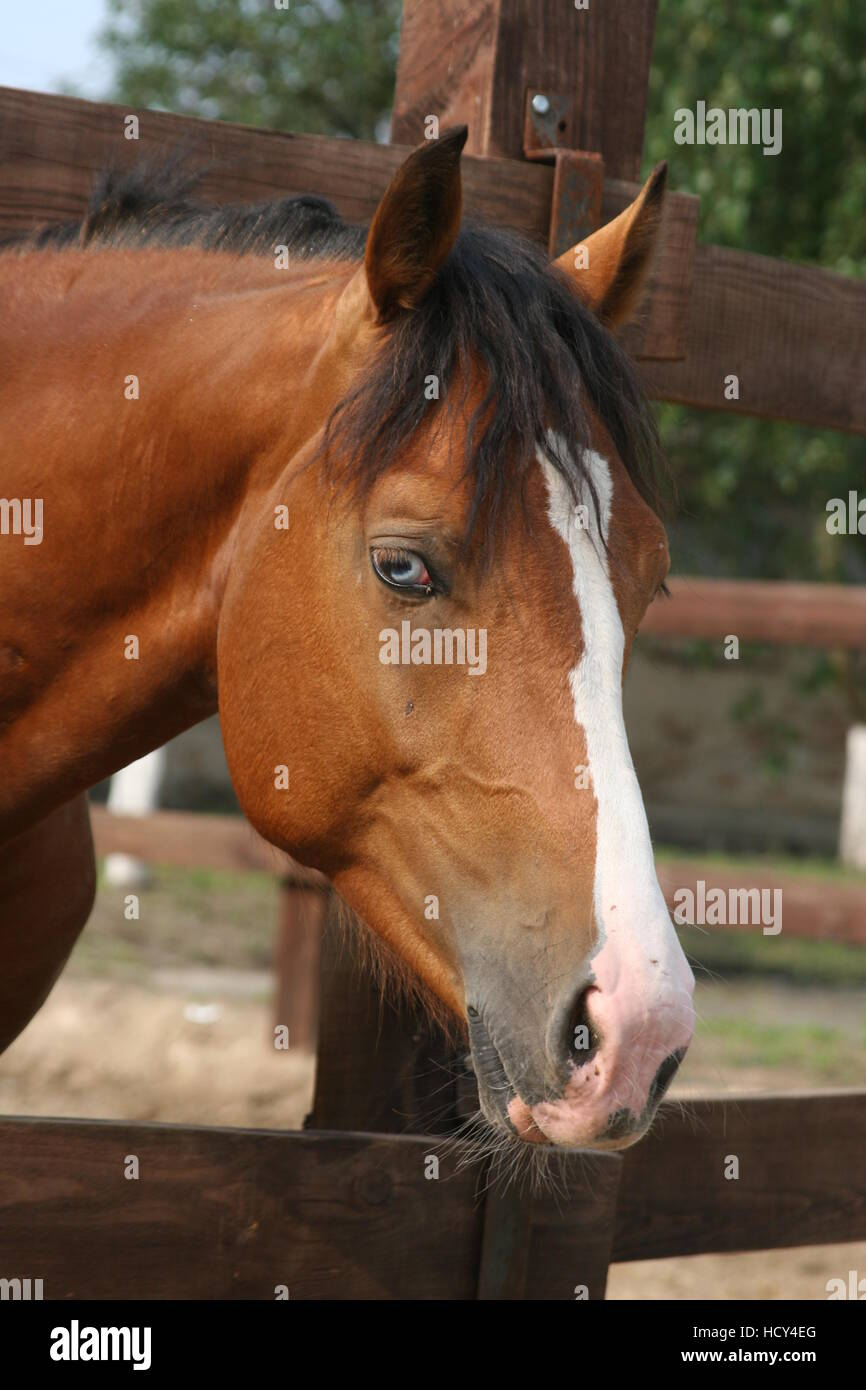 Bay horse with white nose and blue eyes, Appaloosa - Stock Image