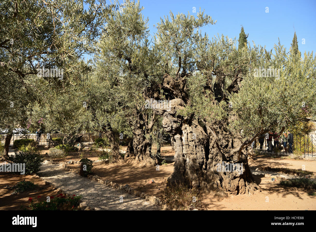 Israel Jerusalem Olive Trees In Stock Photos & Israel Jerusalem ...