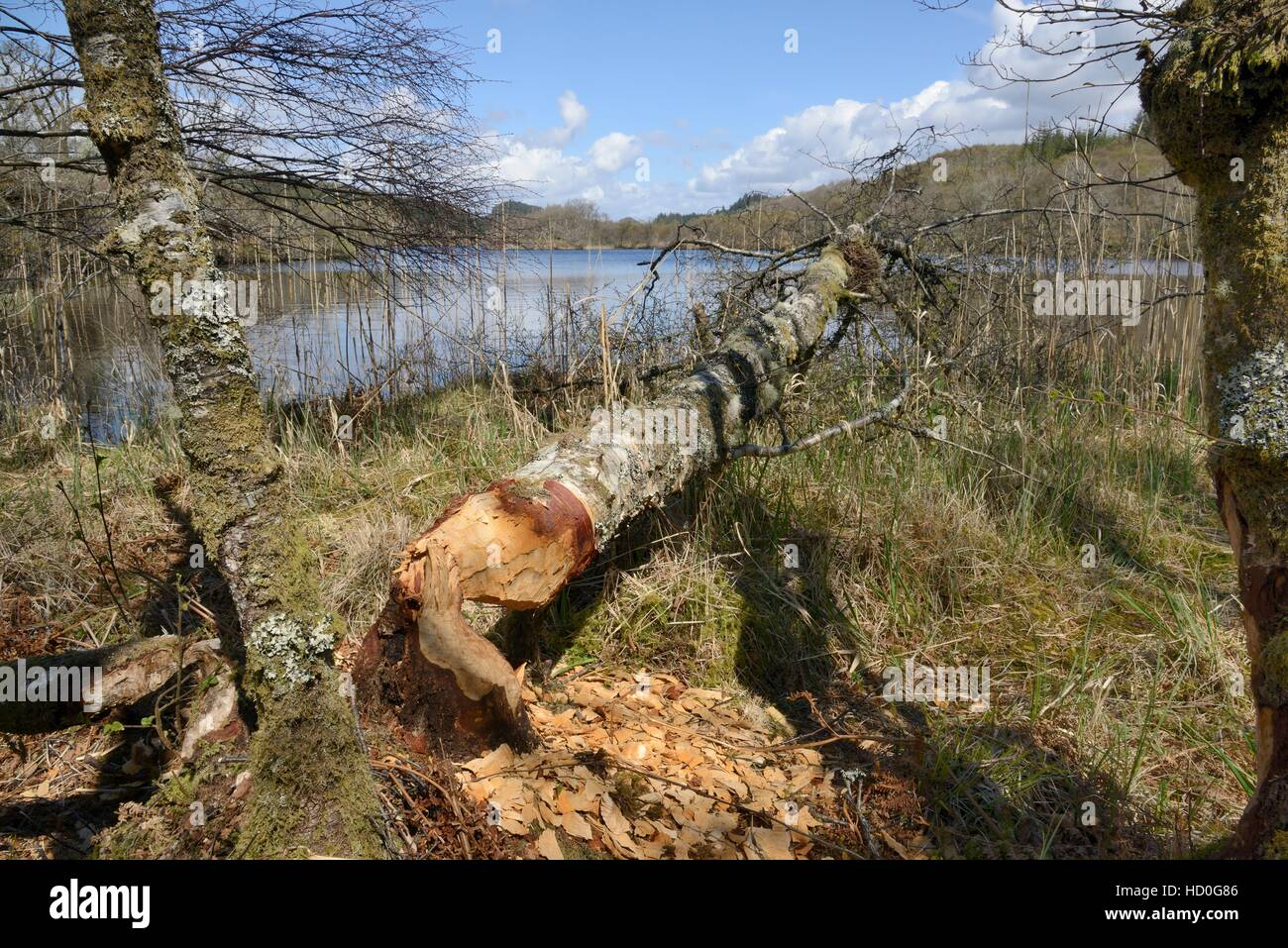 Downy birch (Betula pubescens) felled by Eurasian beavers (Castor fiber) from the Scottish Beaver Trial, Knapdale, - Stock Image