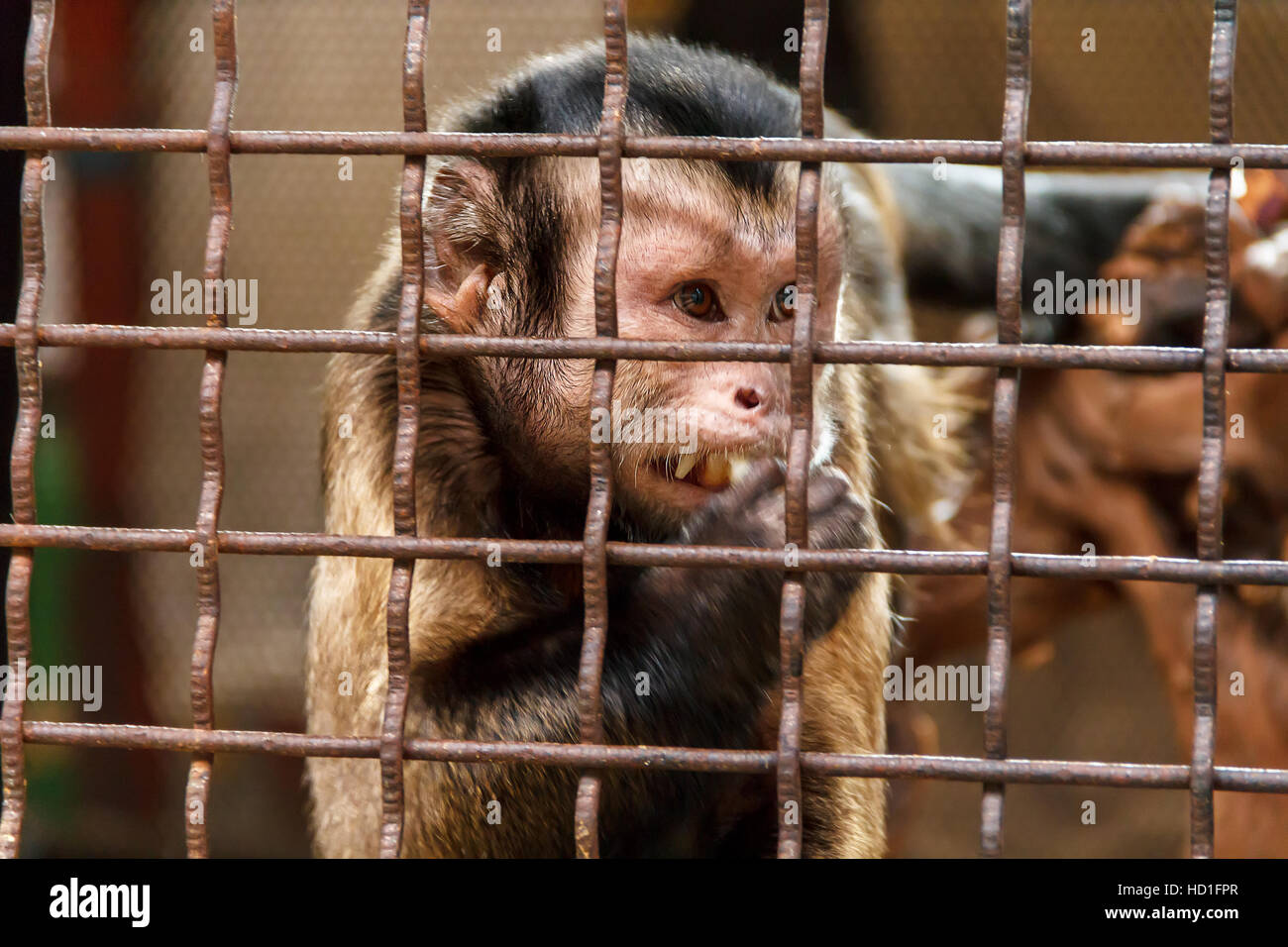 Lonely sad monkey in the zoo cage Stock Photo