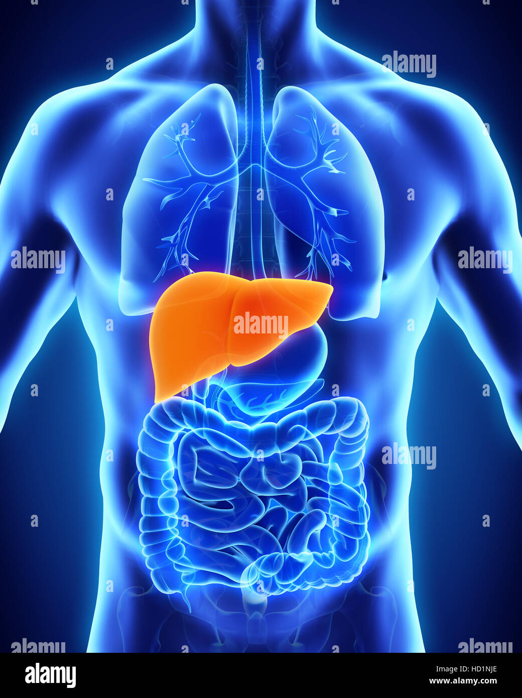 Human Liver Anatomy Stock Photo 128502038 Alamy