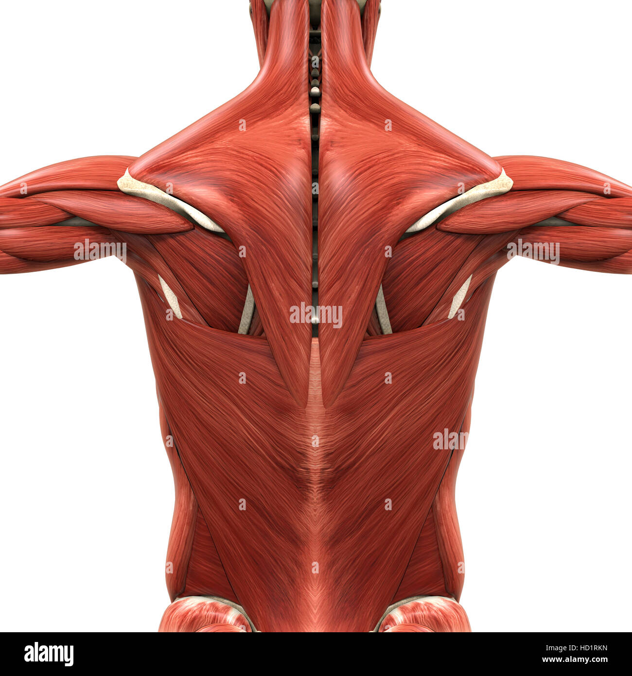 Muscular Anatomy of the Back Stock Photo: 128503641 - Alamy