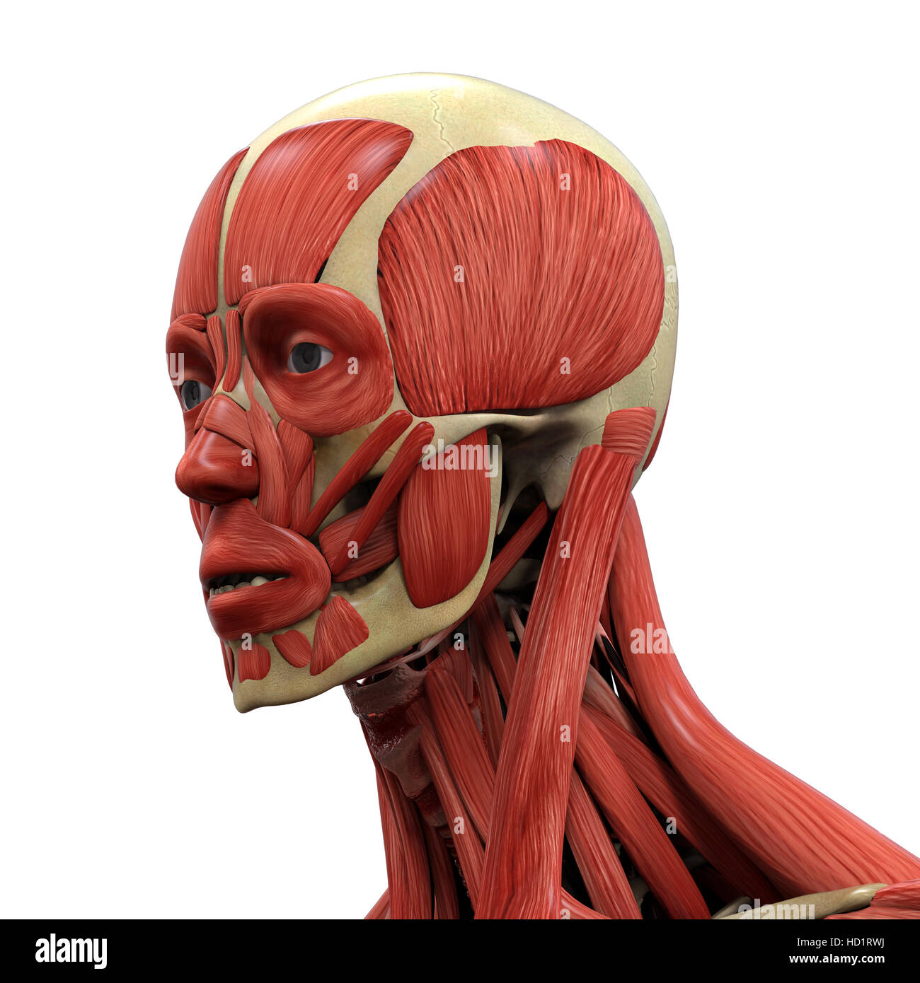 Muscle Anatomy Face Stock Photos & Muscle Anatomy Face Stock Images ...