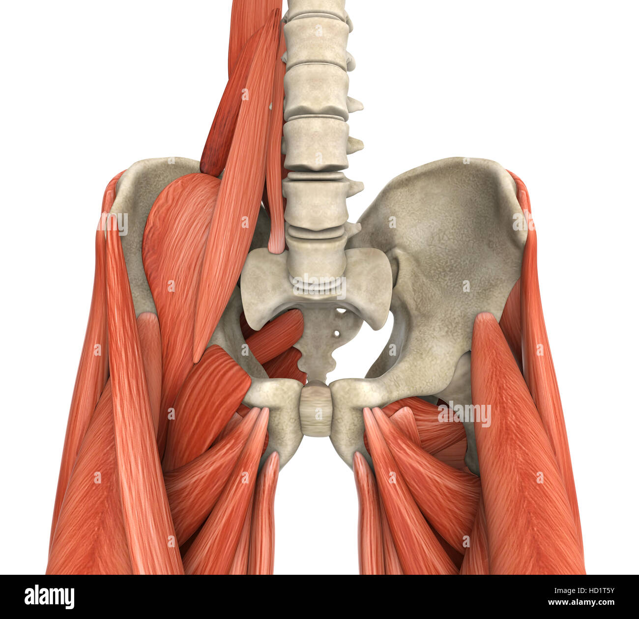 Psoas Muscle Stock Photos Psoas Muscle Stock Images Alamy