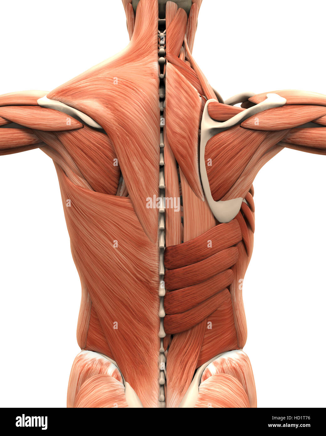 Muscular Anatomy of the Back Stock Photo: 128504074 - Alamy